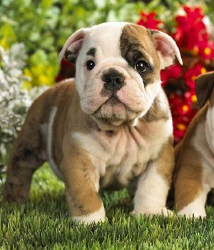 Toy Bulldog breed info,Pictures