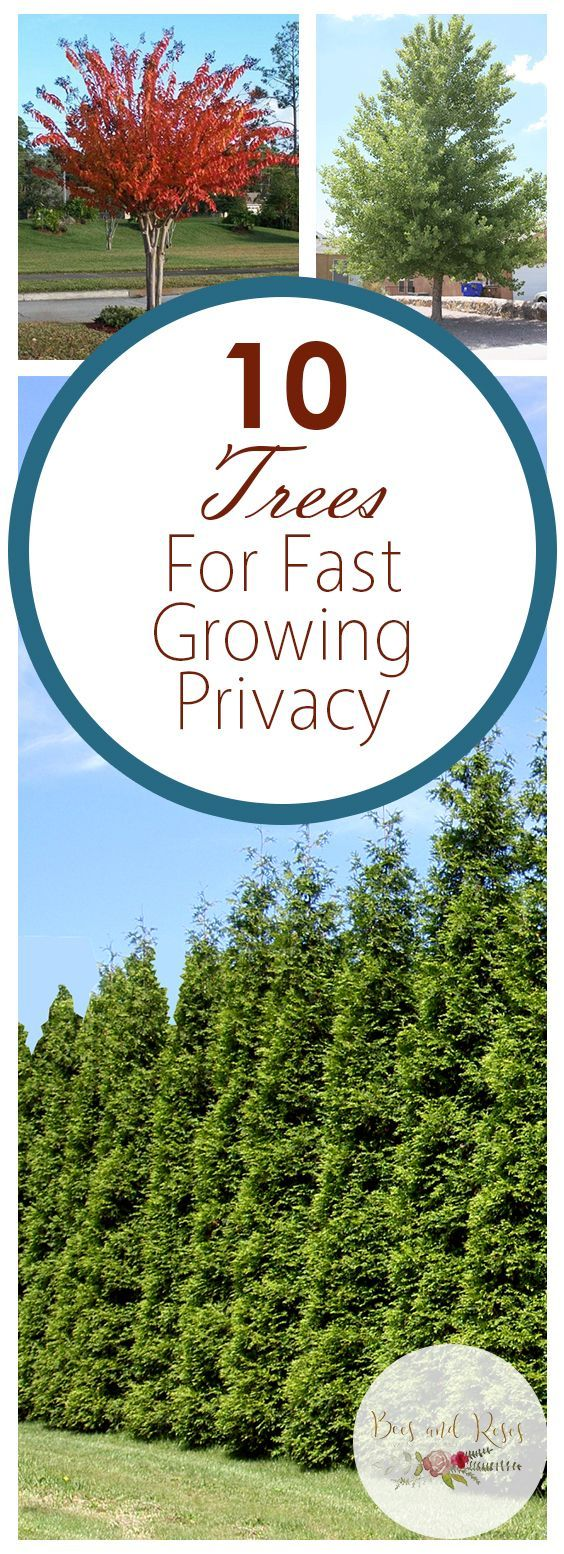10 Trees For Fast Growing Privacy Privacy Landscaping Backyard Privacy Landscaping Backyard Trees Landscaping