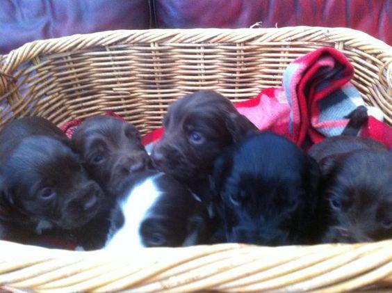Sprocker spaniel puppies For Sale in Godalming, Surrey | Preloved
