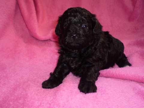 Poodle X Shih Tzu Puppy With Images Shih Tzu Puppy Shih Tzu Puppies