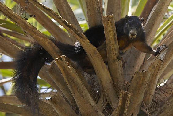 big cypress fox squirrel | Big Cypress Fox Squirrel