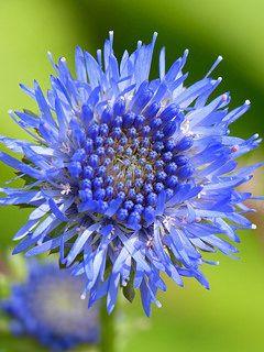 Jasione laevis | blue flower