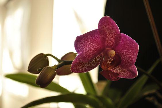 orquídea domesticada
