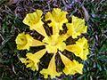 Flores o Ipê caídos no chão viraram uma linda e singela Mandala.