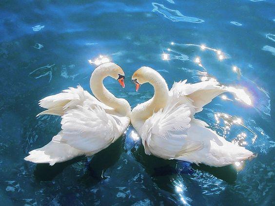 cisne+blanco.jpg (800×600)