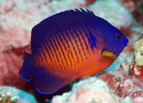 18 Best Saltwater Aquarium Fish For Beginners Aquarium Adviser Saltwater Aquarium Fish Saltwater Aquarium Aquarium Fish