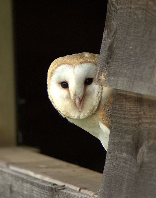 Barn owl. One used to nest at my husbands homeplace, in the silo. Made the most eerie noise.