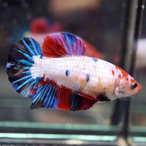 Live Betta Fish Big One Female Multi Colors Koi Candy Full Galaxy Red Head Hmpk Betta Fish Betta Betta Fish Tank