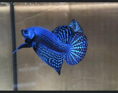Blue Alien Betta Pair Free Expedited Shipping Betta Betta Fish Pet Fish