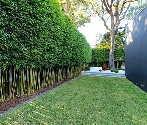 Bamboo Privacy Live Bamboo Privacy Fence Graceful Bamboo Live Plant Slender Weavers Privacy Hedge Screen Garden Hedges Privacy Landscaping Bamboo Garden Fences