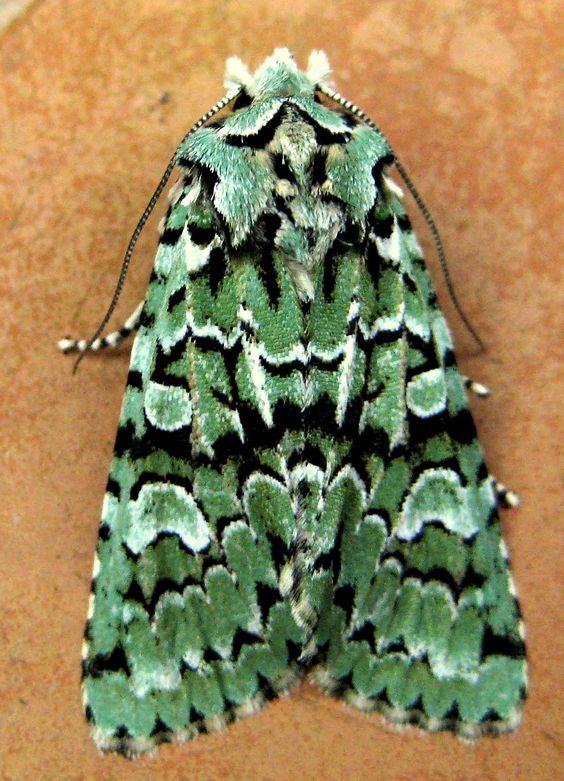 Merveille du Jour moth...amazing creature.