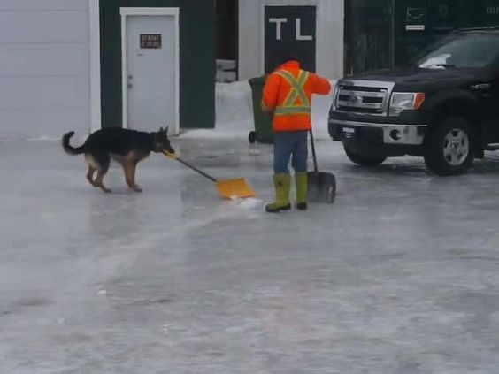 cool Dog Helps Shovel Snow