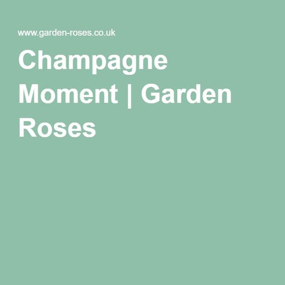 Champagne Moment | Garden Roses