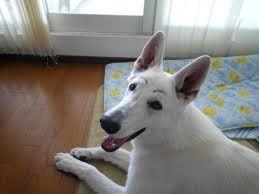 berger blanc suisse dog photo   SHIBA INU ET CHIENS JAPONAIS   Faux SOURCILS de chiens japonais