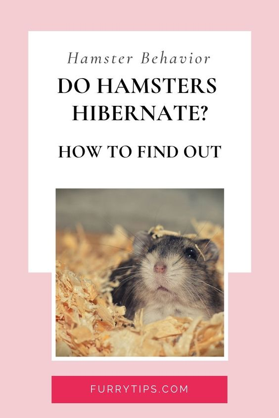 Do Hamsters Hibernate Here Is How To Find Out Hamster Hamster