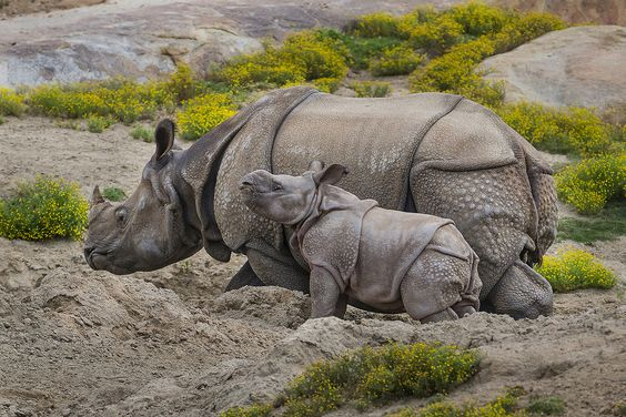 Calf Joins Crash of Greater One-horned Rhinos at Safari Park