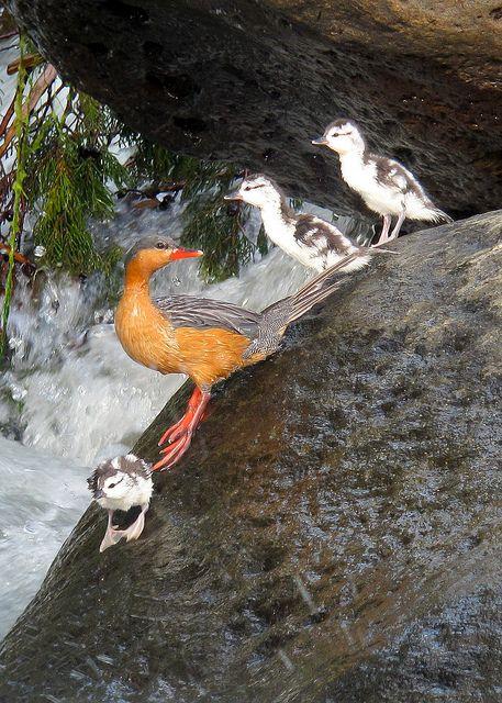 El pato de torrente o pato torrentero (Merganetta armata) Anidan individualmente en parejas a orillas de los ríos. Cada pareja mantiene un territorio de aproximadamente dos kilómetros a lo largo del río. Durante el resto del año se les ve en grupos, ocasionalmente en lagunas dentro de su ubicación. Pone de tres a cuatro huevos. La incubación dura de 43 a 44 días y es efectuada por la hembra, el macho permanece con ella durante la incubación.
