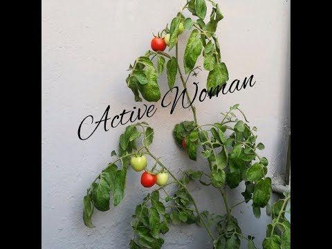 طريقة زراعة الطماطم من البذره وتسميدها وتلقيحها يدويا ورعايتها الى قطف الثمار Youtube Plants