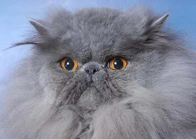 Handsome Grey Fluffo Persiancatblue In 2020 Cat Adoption Persian Cats For Sale Persian Cat