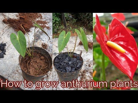 How To Grow Anthurium Plants Youtube Anthurium Plant Plants Anthurium