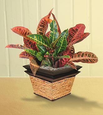 Croton Croton Plant Varieties Require Heavy Watering As