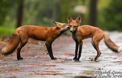 13 red fox cute animals