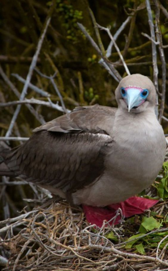 A red footed boobie in the Galapagos Islands, by Tom Warburton. Wow, gorgeous!