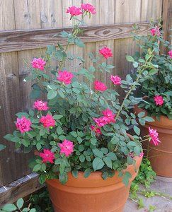 Growing Roses In Containers - Rose Bush Care For Potted Roses For Great Summer Flowers: