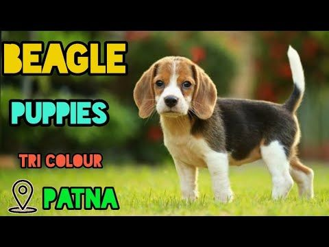 Beagles Youtube In 2020 Beagle Puppy Beagle Puppies