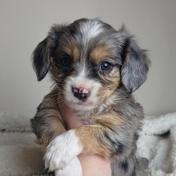 Aussalier Dog Breed Info Pictures Traits Doggie Designer Australian Shepherd Cute Dogs Images Mixed Breed Puppies