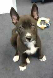 Ned is an adoptable Australian Shepherd Dog in Asheville, NC. Meet Ned.� He is about 9 weeks old (9/1/13).� Ned has a great personality and is oh so smart.� If you would like more info on this guy con...
