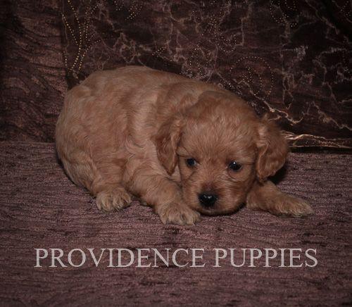 Cavapoo Puppy For Sale In Wayland Ia Adn 70778 On Puppyfinder
