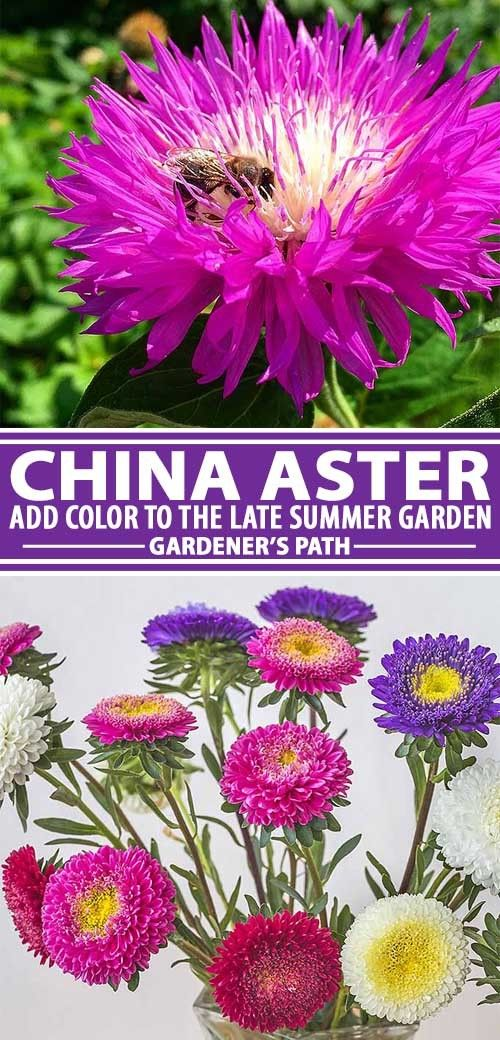 How To Grow China Aster Callistephus Chinensis Gardener S Path Fall Garden Vegetables Summer Flowers Garden Scent Garden