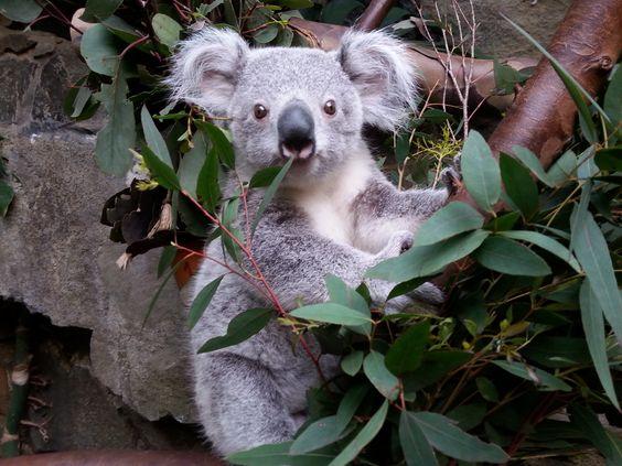 Read about this Koala joey's big adventure at the Edinburgh Zoo