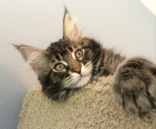 Maine Coon Kittens  Southern California  San Diego, | Beautiful Maine Coon  Cats | Pinterest | Maine Coon Kittens And Maine Coon