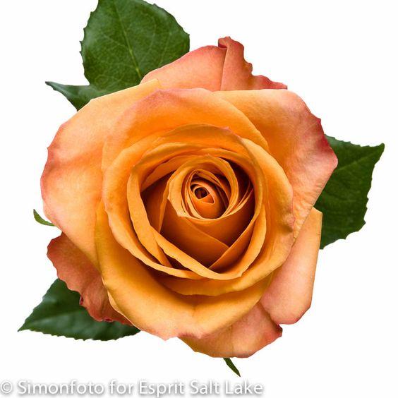 Amber orange peach bi color rose raw roses pinterest for 2 color roses