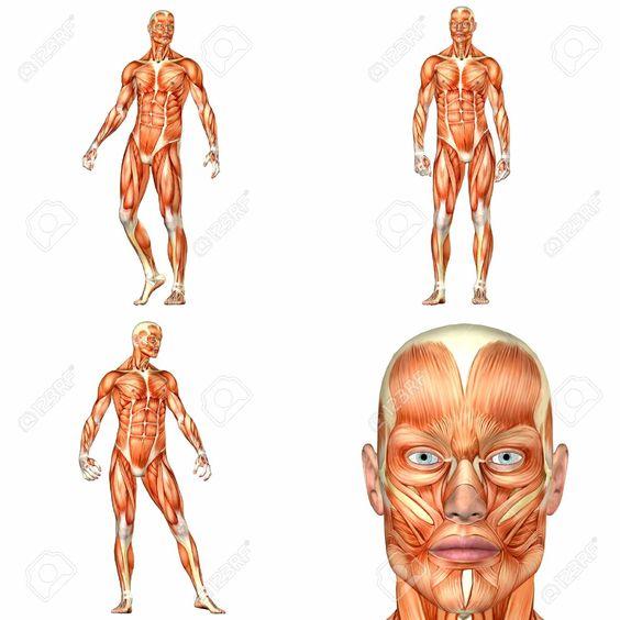 Ilustración de la anatomía del cuerpo humano, con diferentes poses. Fondo blanco.