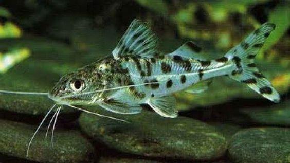 A Glimpse Of The Life Of Pictus Catfish Catfish Amazon River Fish Pet