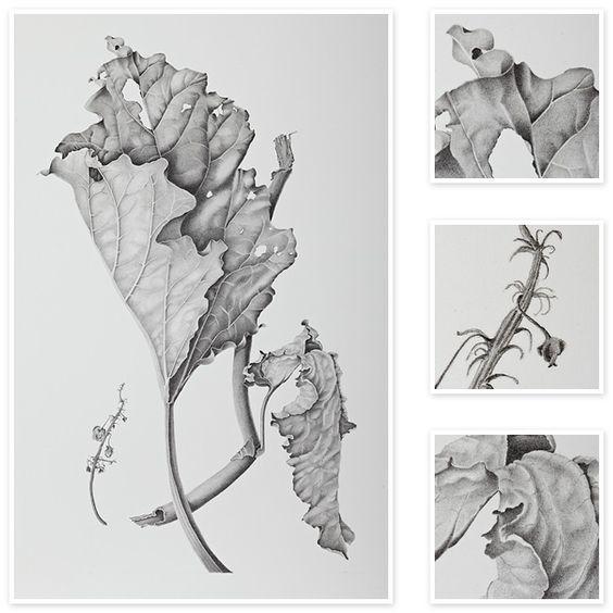 Rheum (Rhubarb) | Sharon Field | Botanical Artist, Study , Inspiration for Botanical Sketchbooks for Art Students at CAPI::: Create Art Portfolio Ideas milliande.com, Art School Portfolio Work, , Botanical, Flowers, Plants, Leaves,Stem Seed, Nature, Sketching, Herbarium