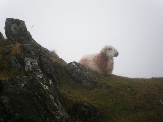 Snowdonia's coolest sheep, just hanging out next to a sheer cliff edge. I envied its poise as we made our way to the summit of Snowdon on a very wet day.
