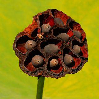 Lotus Flower Seed Pod: