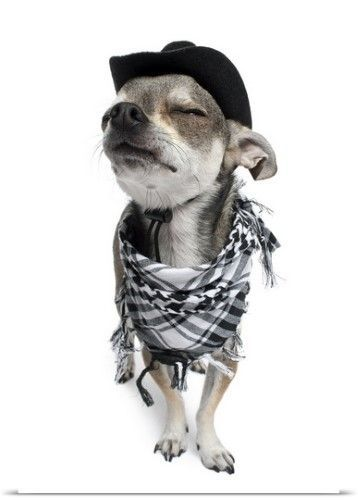 Poster Print Wall Art Print entitled Wide-angle of a Chihuahua with his eyes closed wearing a scarf and a cowboy hat, None