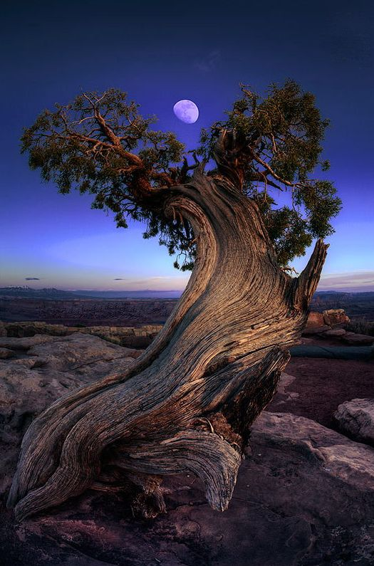 Spectacular old tree framing a full moon.: