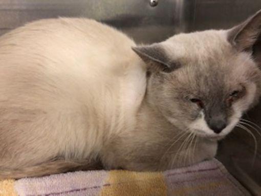 Tavares Fl Siamese Meet Fareon A Pet For Adoption Pets Pet Adoption Animal Rescue