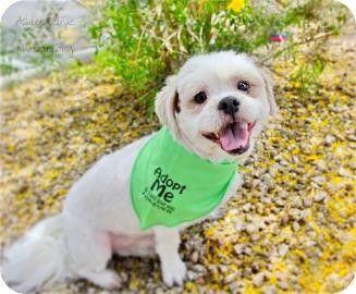 Scottsdale, AZ - Shih Tzu Mix. Meet Barney a Dog for Adoption.