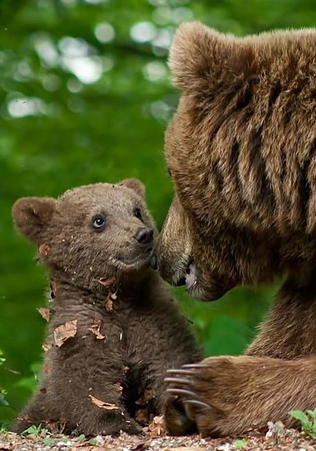 A photo of the cutest bear cub ever having a sweet moment with mama.