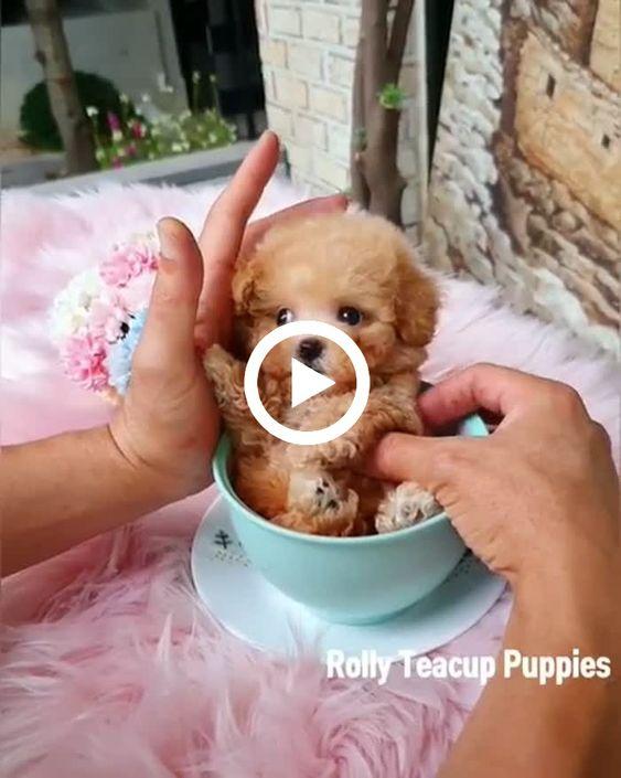 Que cãozinho pequeno e fofo cabe até numa xícara.