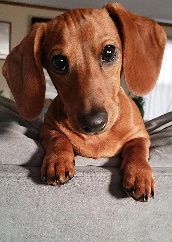 Everything About The Daschund Puppy Personality