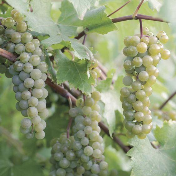 Picture of Wine Grape