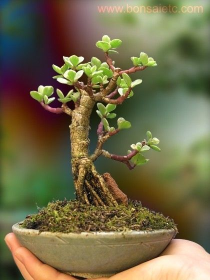 Un rbol bonsai de interior muscular jade plantas y for Bonsais de interior